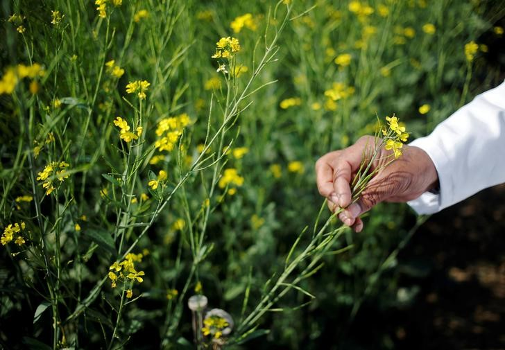 An Indian scientist binds a genetically mutated rapeseed stand underneath hearing in New Delhi India