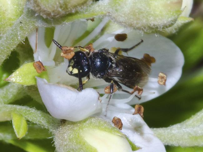 A yellow-faced bee is shown in Hawaii. It is one of 7 class that will now be protected. Picture: AP