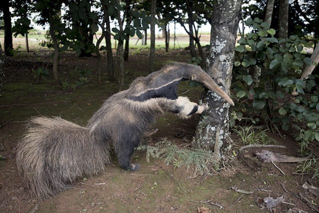 Stuffed anteater at the entrance to the Park where contest image was captured