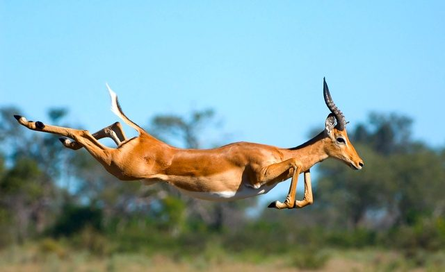 This image I captured of a definitely-not-stuffed Impala was a finalist in the related category of Mammal Behavior. Copyright David Cardinal