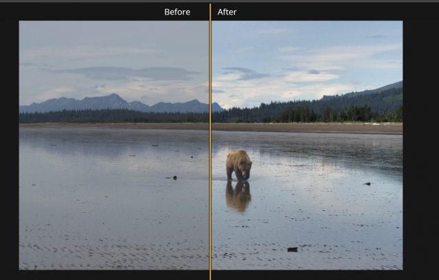 The Accent AI one-click-fix Filter did a very competent job of cleaning up this image taking on a dull morning of a Brown Bear in Lake Clark Park, Alaska